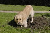 Golden Retriever dog digging hole in grass lawn poster