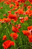 Remembrance day, Anzac Day, serenity. Drug and love intoxication, opium, medicinal. Poppy flower field, harvesting. Opium poppy, botanical plant, ecology. Summer and spring, landscape, poppy seed. poster