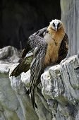 This is a Bearded Vulture which is threatened with extinction in Europe poster