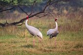 Sarus cranes (Grus antigone) in Keoladeo Ghana National Park, Bharatpur, Rajasthan, India. Sarus crane is the tallest of the flying birds. poster