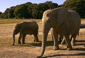 mother and juvenile elephants poster