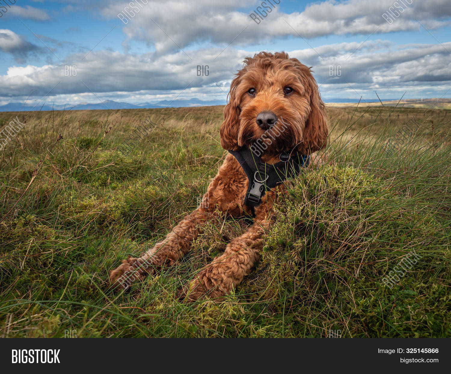 Young Red Cockapoo Image Photo Free Trial Bigstock