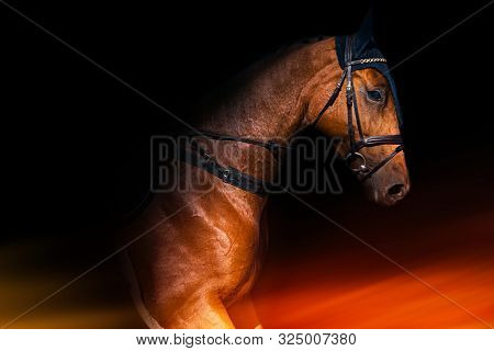 Brown Horse Black Background . Riding Horse With Bridle .  Champion Horses