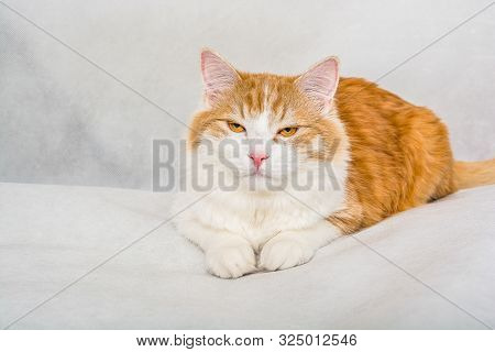 Ginger white longhair cat with satisfied face on white background poster