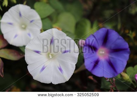 Closeup Morning Glory Flower In A Garden. Ipomoea Purpurea, The Common Morning-glory, Tall Morning-g