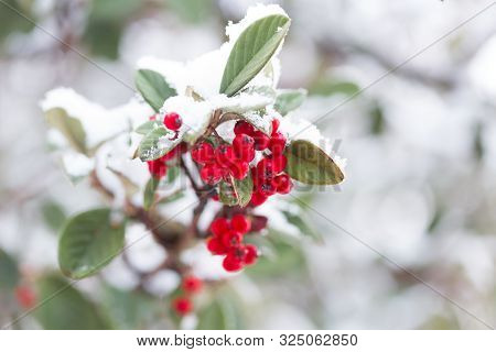 Frozen Red Berries Covered In Fresh Winter Snow.  Shallow Dof.