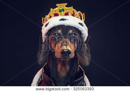 Black And Tan Adorable Dachshund Dog In A Royal Mantle And A Crown On The Stage