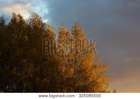 Yellow Crones Of Birch Trees On Blue Sky In Autumn Park