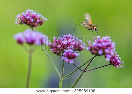 Tiny Hummingbird Hawk-moth Buzzing Around Purple Flowers Sampling Nectar With Its Proboscis. Summer