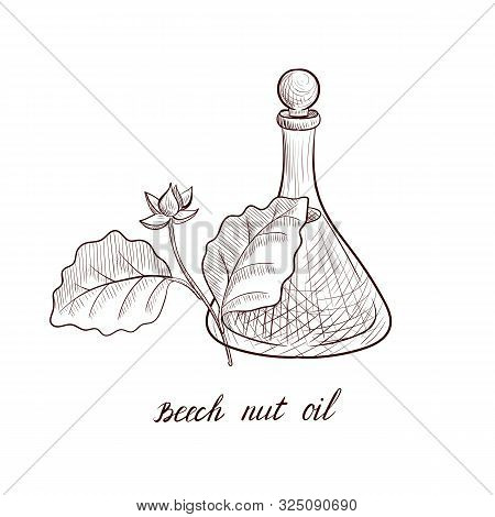 Vector Drawing Beech Nut Oil, Bottle Of Vegetable Oil And Beech Tree Branch, Hand Drawn Illustration