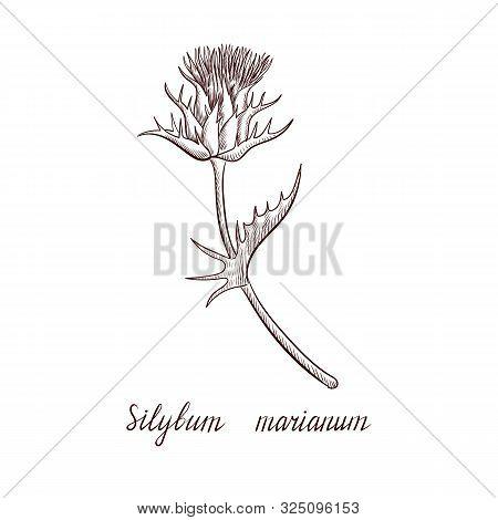 Vector Drawing Thistle Flower, Silybum Marianum Plant, Hand Drawn Illustration