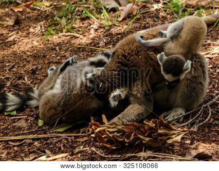 Portrait Of The Ring-tailed Lemur Family Lemur Catta Aka King Julien In Lemirs Park At Arivonimamo,