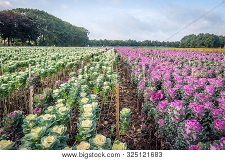 Large Field With Long Converging Flower Beds With Colorful Ornamental Cabbage Plants. The Image Was