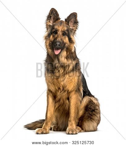 Old German Shepherd Dog sitting against white background