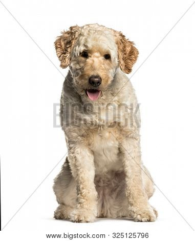 Labradoodle, Mixed-breed with a poodle and a labrador retriever, sitting against white background