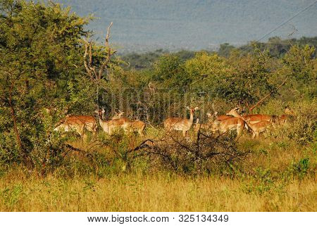 Safari Game Drive In South Africa.  A Wonderful View Of A Small Herd Of Impala Antelopes Grazing In