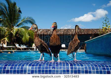 3 Ducks Wade At Resort Swimming Pool