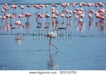 Soloist. Flock of white and pink flamingos feed themselves in coastal silt. Namibia. Sunrise. Ecological, active and photo tourism concept
