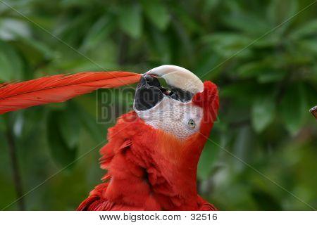 Scarlet Macaw Preening
