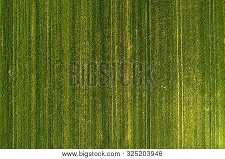 Aerial View Of Green Wheatgrass Field From Drone Pov, Cultivated Cereal Crop Plantation As Abstract