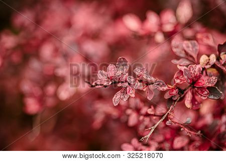 Beautiful Fall Leaves With Water Drops After Rain. Amazing Autumn Colors. Blurred Macro Fall Foliage