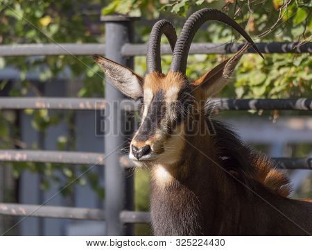Portrait Of A Rare Sable Antelope Hippotragus Niger
