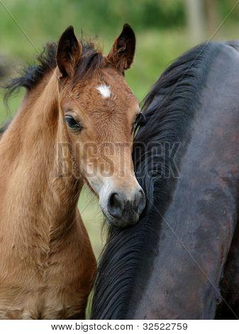 A Welsh Pony Foal