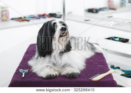 Beautiful Long Haired Tibetan Terrier Dog Laying On A Towel After A Bath  Procedure In Grooming Salo