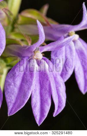 Closeup of lavendar-blue flowers of Great Blue Lobelia