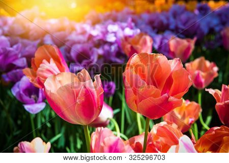 Beautiful Multi Color Tulips, Close Up. Nature Background