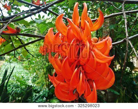 Mucuna Bennettii F. Muell, The Orange Flower In The Forest