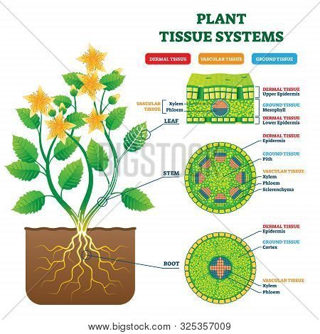 Plant Tissue Systems Vector Illustration. Labeled Biological Structure Scheme. Anatomical Diagram Wi
