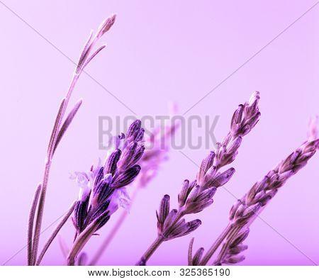 Close-Up Of Violet Lavender Flower Background