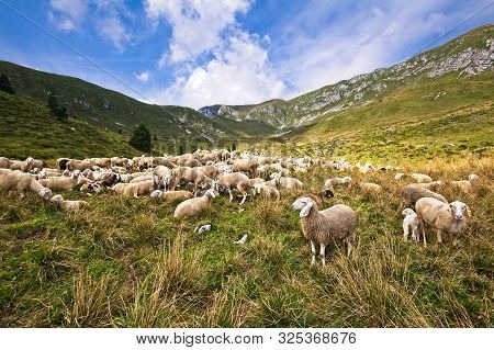 Livestock Farm, Flock Of Sheep In Mountais.