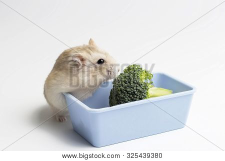Dwarf furry hamster and broccoli in feeding trough on white background poster