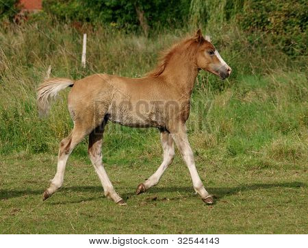 Welsh Foal Trotting
