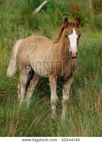 Pretty Welsh Foal