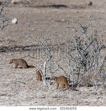 A Group Of Banded Mongoose -mungos Mungo- Hinding Behind The Bushes Of Etosha National Park, Namibia