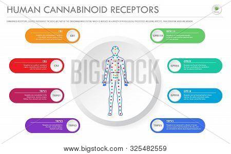 Human Cannabinoid Receptors - Endocannabinoid System Horizontal Business Infographic Illustration Ab