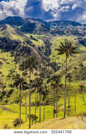 Bosque De Palma De Cera La Samaria near San Felix near Salamina Caldas in Colombia South America poster
