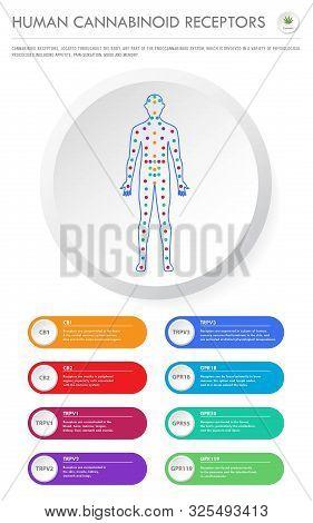 Human Cannabinoid Receptors - Endocannabinoid System Vertical Business Infographic Illustration Abou