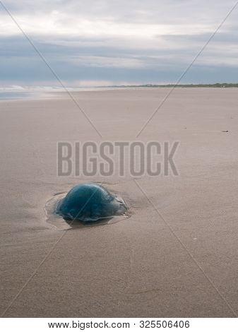 Blue Jellyfish On The Dutch Wadden Sea Coast