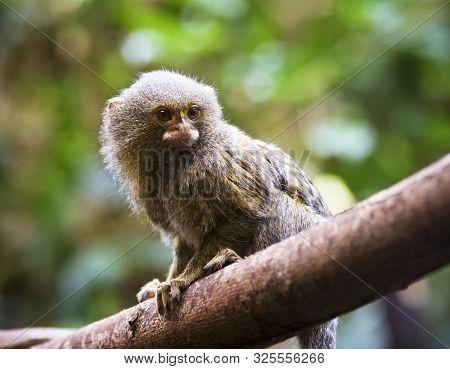 A Close Portrait Of A Pygmy Marmoset On A Tree Branch, Cebuella Pygmaea
