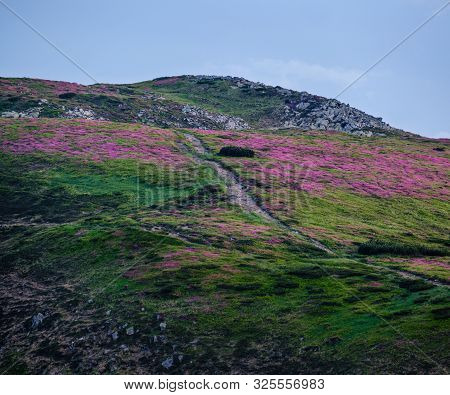 Pink Rose Rhododendron Flowers On Summer Evening Twilight Mountain Slope With Path. Carpathian, Chor