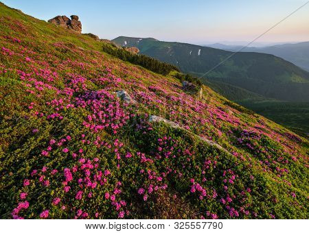 Pink Rose Rhododendron Flowers On Early Morning Summer Mountain Slope. Vuhatyj Kaminj, Carpathian, C