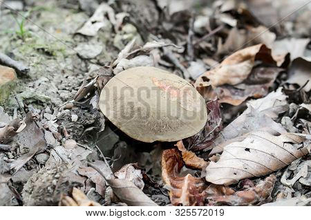 A Mushroom, Chestnut Youngling Growing In Autumn