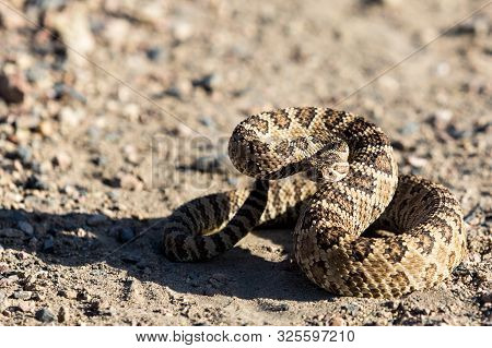 Angry Coiled Rattlesnake In Nevada By Pyramid Lake
