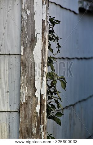 A Lone Vine Grows Up The Side Of A Cracked, Peeling Corner Board On An Abandoned House.