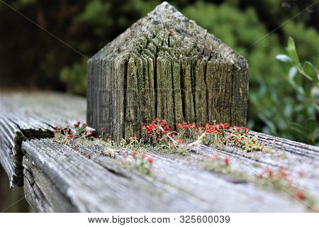 Reddish Flowers Bloom In Moss Growing Out Of The Cracked Boards On A Deck.