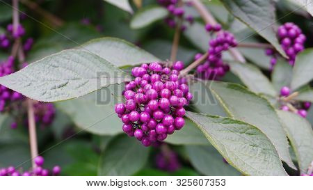 Callicarpa Japonica Or Japanese Beautyberry Branch With Leaves And  Large Clusters Purple Berries Cl